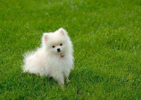 Exercising Your Pomeranian Pauley S Pups