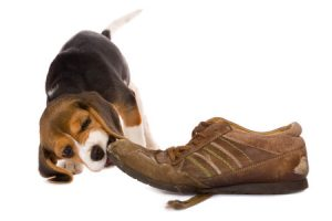 Why Do Dogs Chew?