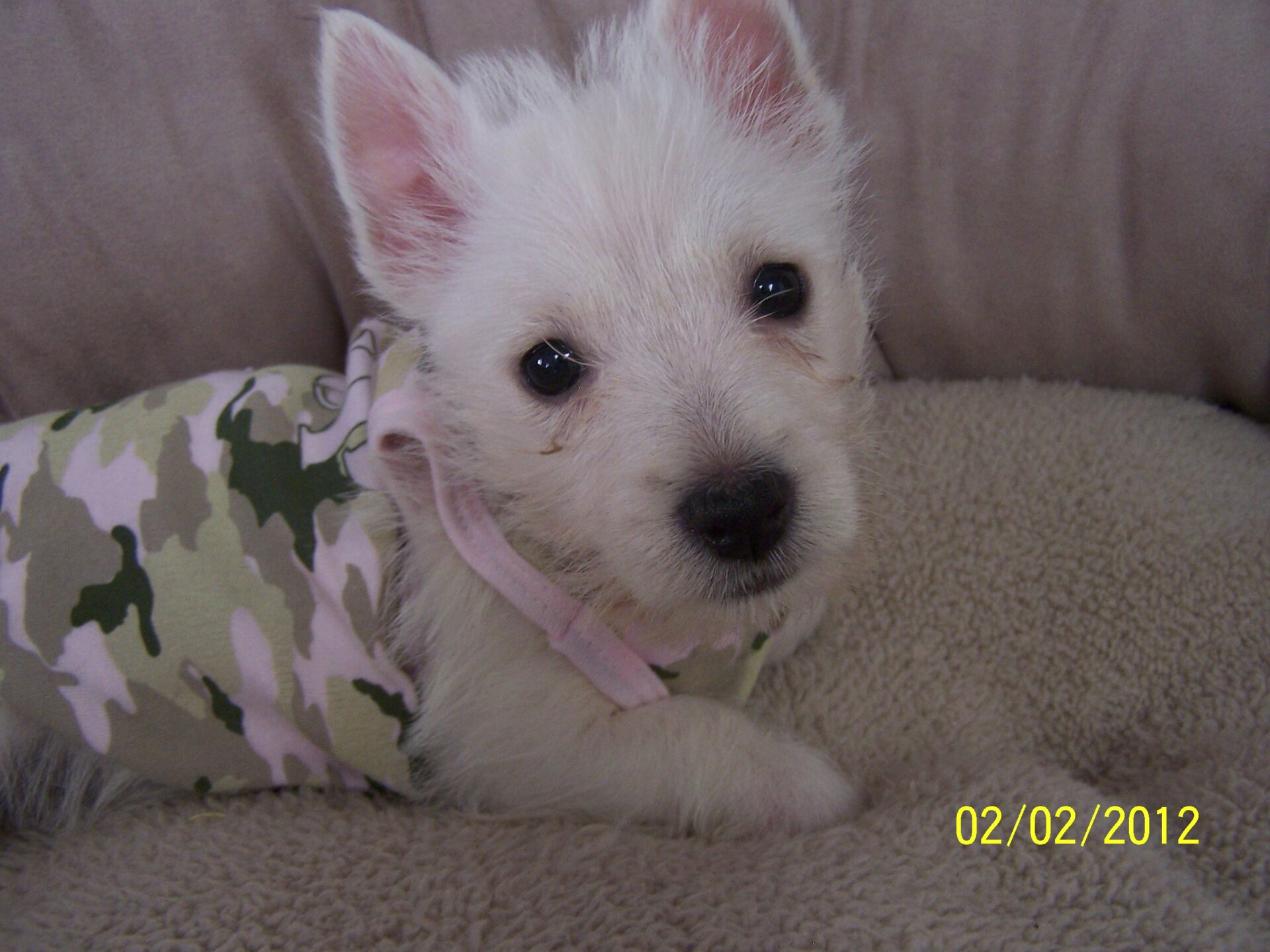 West Highland White Terriers For Sale | Westie Puppies