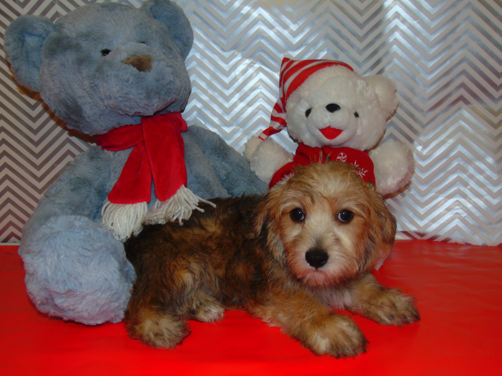 Pet Store Fredericksburg Va Puppies Amp Dogs For Sale Pauley S Pups