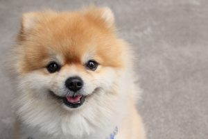 4 Things You Should Know About Pomeranians