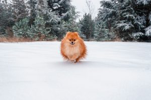 How to Exercise Your Pomeranian