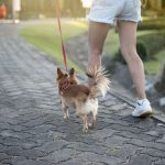 Dog Obesity: How to Help Your Small Dog Lose Weight
